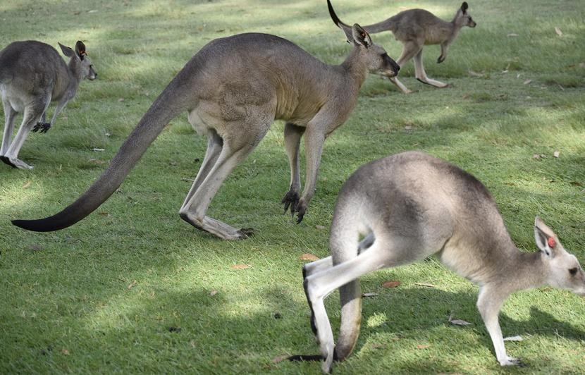 mots fleches kangourou